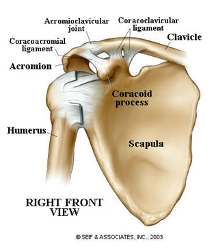 ac joint shoulder injuriesfindrugbynow - find your local rugby, Human Body